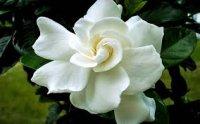 gardenia70